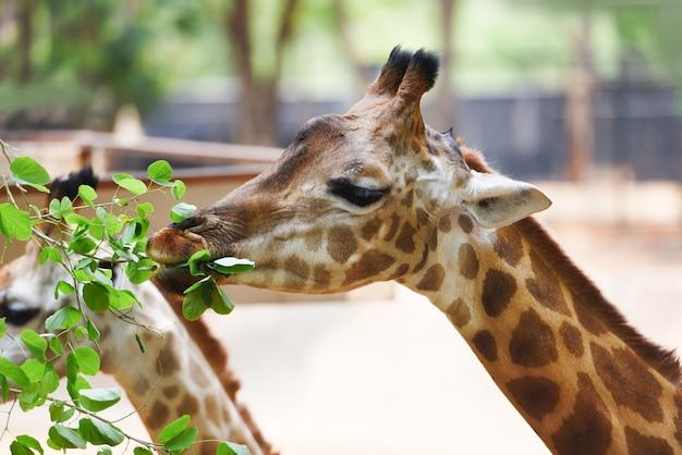 Jirafa comiendo hojas cerca de una jirafa áfrica en el parque nacional