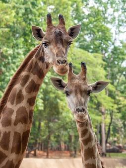 La jirafa es el animal más alto.