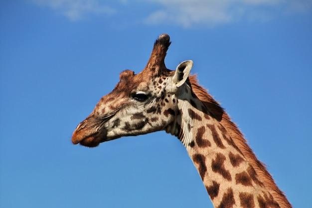 Jirafa en safari en kenia y tanzania, áfrica