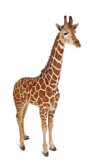 Jirafa somalí, comúnmente conocida como jirafa reticulada, giraffa camelopardalis reticulata, de pie contra la pared blanca aislada