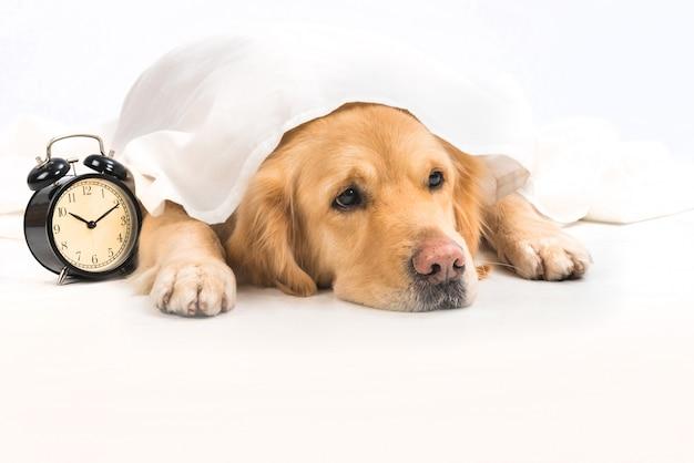 Un joven y aburrido golden retriever debajo de una tela blanca junto a un despertador.
