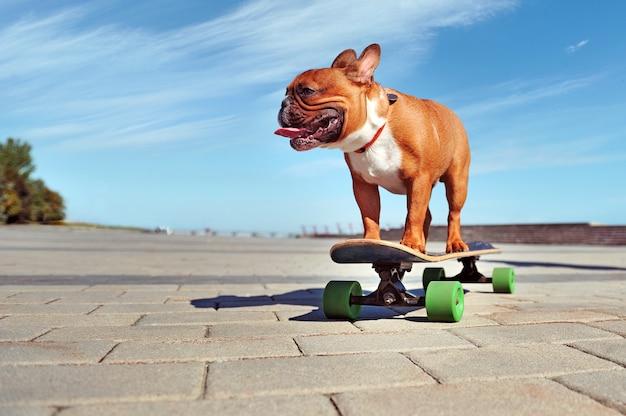 Joven activo bulldog francés de pie en el longboard