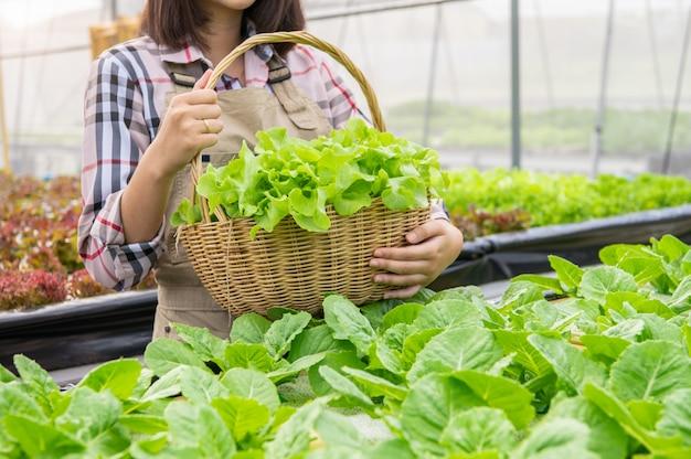 Joven agricultor orgánico de hidroponía asiática recogiendo ensalada de verduras en la cesta