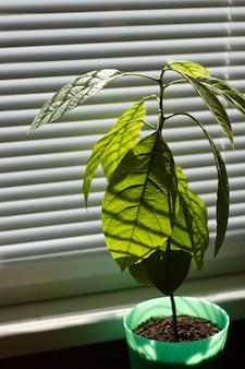 Joven árbol de aguacate en una maceta verde en una ventana con persianas