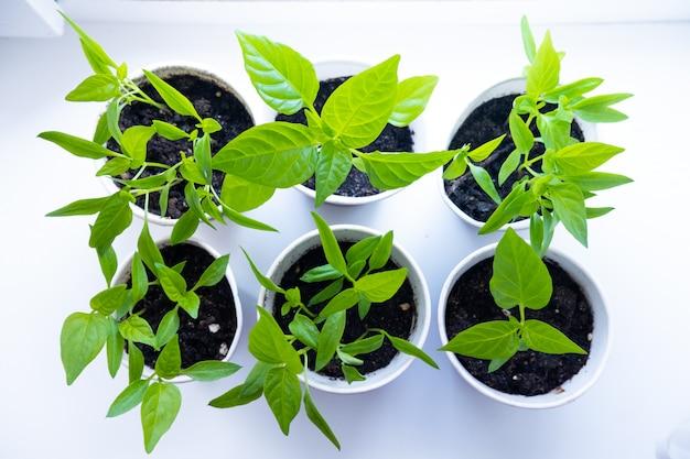 El joven brota la pimienta de la planta verde en potes en la ventana blanca. cómo cultivar alimentos en casa en el alféizar de la ventana. plántulas y jardinería doméstica.