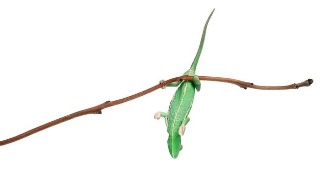 Joven camaleón velado, chamaeleo calyptratus