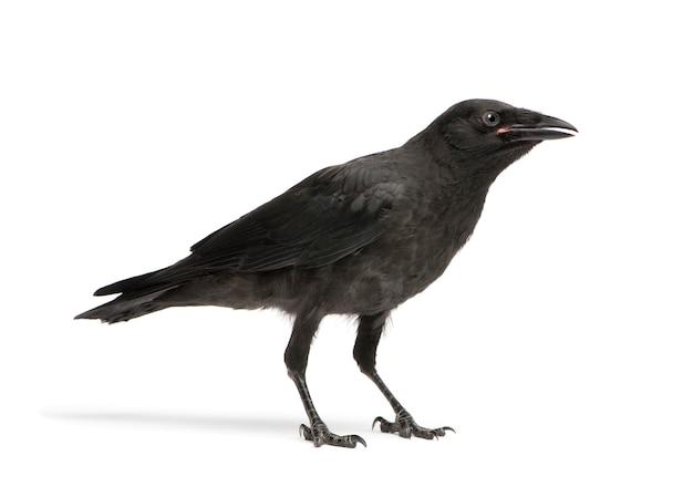 Joven carrion crow, corvus corone sobre un blanco aislado