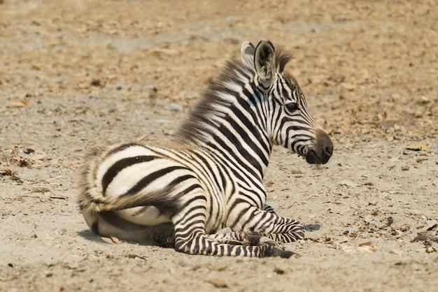 Joven cebra descansando en el suelo