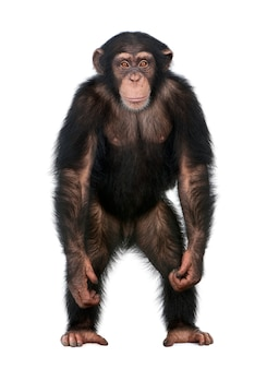 Joven chimpancé de pie como un humano - simia trogloditas sobre un blanco aislado
