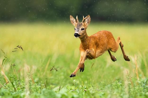 Joven corzo con pequeñas astas saltando bajo la lluvia en verano