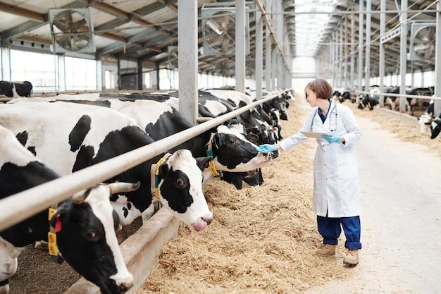 Joven cuidadora de gran granja en guantes y bata blanca con touchpad mientras toca una de las vacas lecheras en el establo