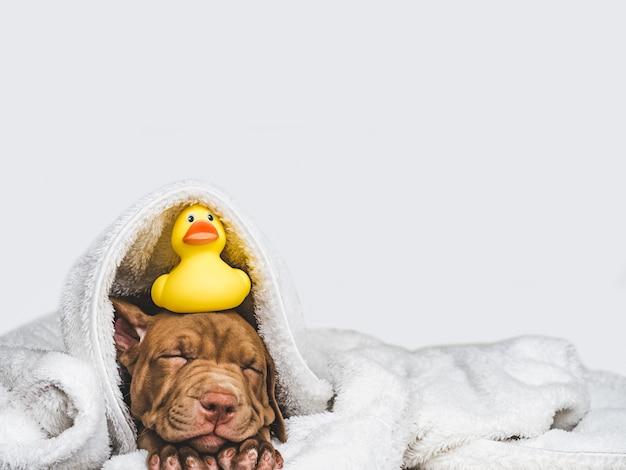 Joven, encantador cachorro y patito de goma amarillo,