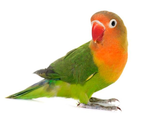Joven fischeri lovebird