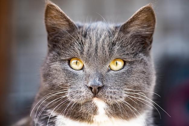 Joven gato gris británico camina en el patio