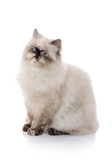 Joven gato del himalaya mirando a otro lado