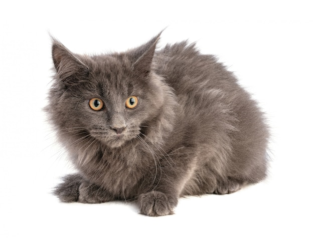 Joven gato maine coon gris sobre un fondo blanco.