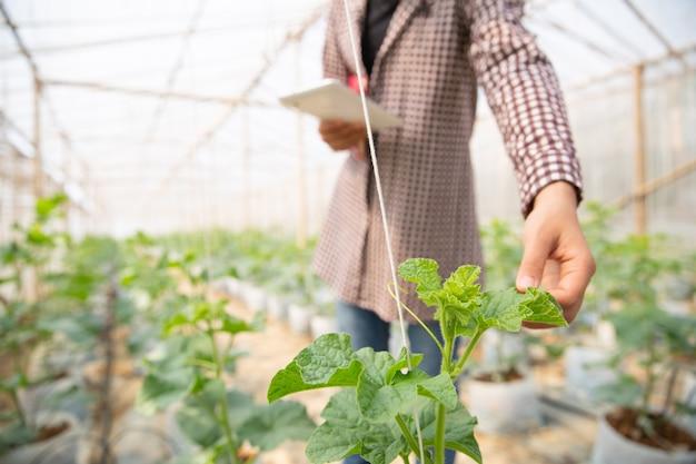 Joven ingeniero agrícola estudiando un nuevo tipo de melón creciendo en invernadero.