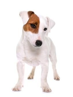 Joven jack russel terrier