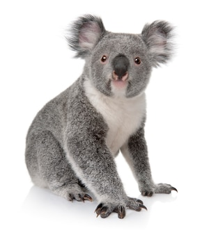 Joven koala, phascolarctos cinereus, sobre un blanco aislado