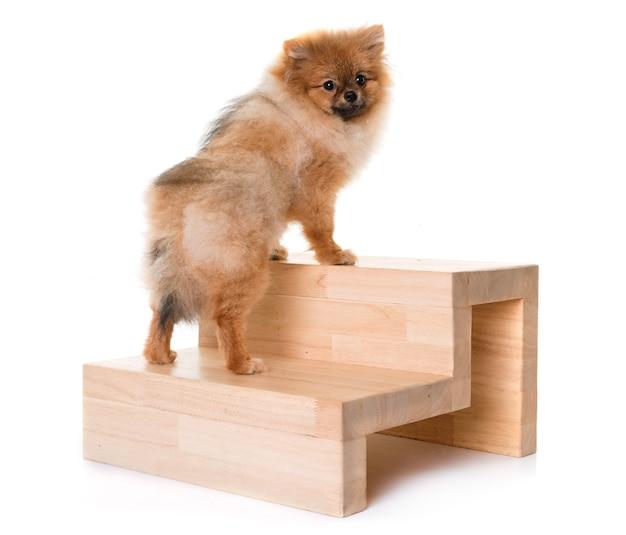 Joven perro de pomerania y escaleras