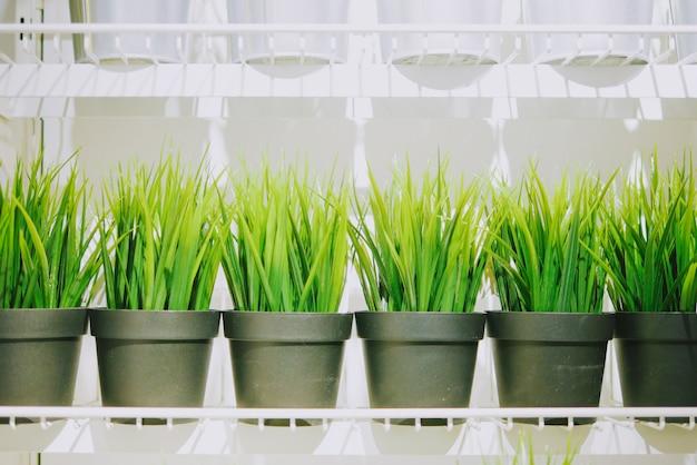 Joven planta de arroz verde en maceta blanca con estante blanco