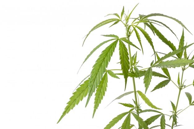 Joven planta de mariajuana verde fresca