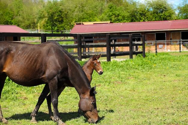 Joven potro con su madre en un campo en primavera