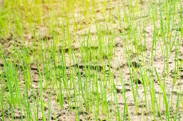 Joven puerro verde o cebollas que crecen en el campo o jardín, agricultura, agricultura, hortalizas