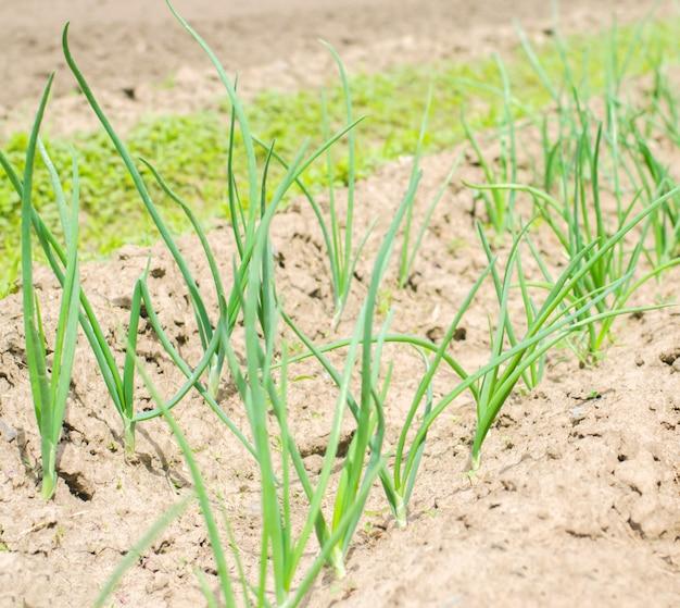 Joven puerro verde o cebollas que crecen en el campo o jardín, agricultura, agricultura, vegetales