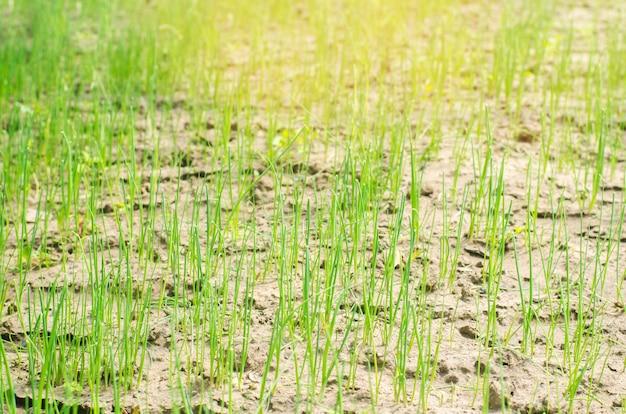 Joven puerro verde o cebollas que crecen en el campo o jardín