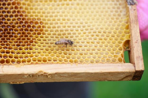 Joven recién nacido abeja reina en marco con miel