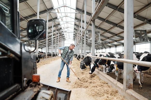 Joven trabajador de la granja de animales contemporánea volcando el heno con horca mientras prepara la comida para las vacas lecheras