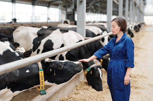 Joven trabajadora de la granja de animales tocando una de las vacas lecheras mientras está de pie junto a la valla delante del ganado