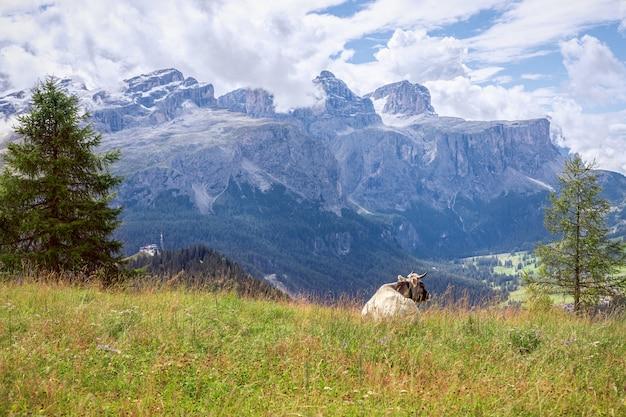 Una joven vaca gris en una pastura admira el panorama de los alpes italianos