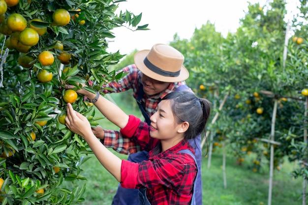 Los jóvenes agricultores están recogiendo naranja