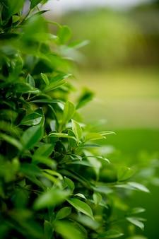 Jóvenes brotes de hojas verdes de hojas hermosas.