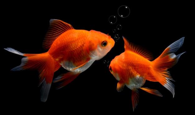 Jóvenes peces dorados en acuario.