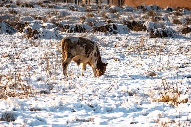 Jóvenes terneros pastan en un campo en invierno, buscando hierba bajo la nieve