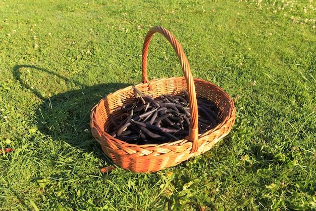 Judías verdes planas y púrpura en el jardín en una canasta de mimbre