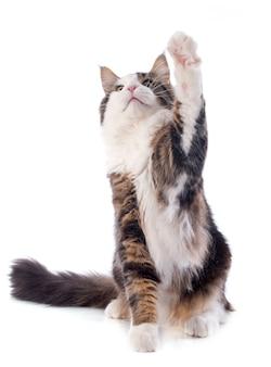 Jugando maine coon cat
