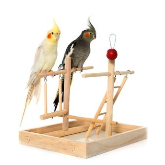 Jugando perico y cockatiel