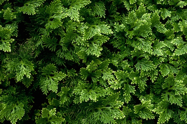 Jugosas hojas de enebro para el diseño
