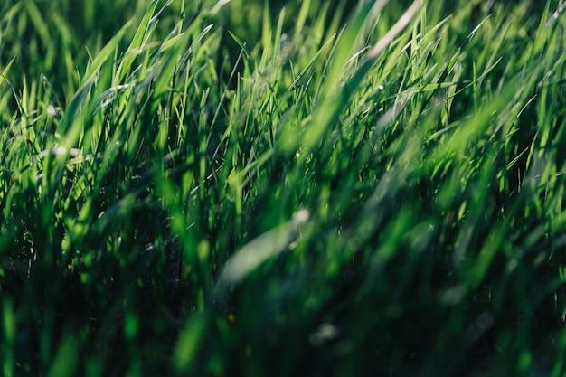 Jugosas hojas de hierba verde en el fondo con luz solar retroiluminada