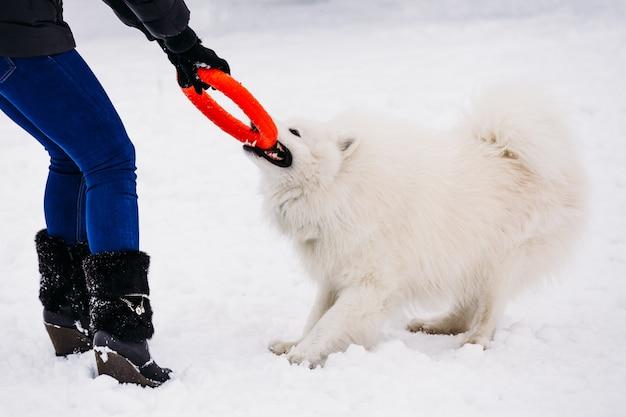 Juguetón perro samoyedo en invierno