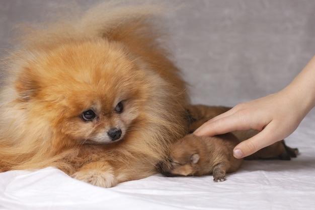 Junto a un pomerania naranja esponjoso yacen tres cachorros recién nacidos, la mano humana pone el cachorro al perro