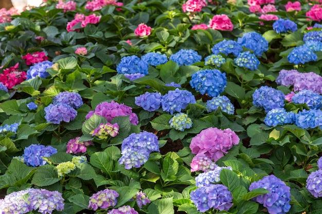 Kalanchoe en el jardín es un nombre normal y la familia es crassulaceae y la especie es kalanchoe blossfeldiana