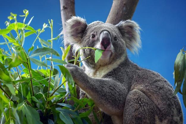 Koala comiendo hojas de eucalipto.