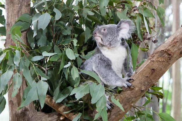 Koala oso en un árbol