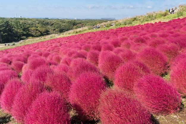 Kochia y cosmos presentaron a hitachi ibaraki japón.