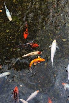 Koi de colores en un estanque